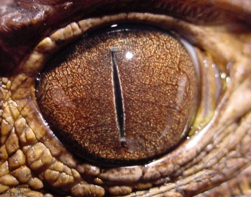 Resultado de imagen de reptiliano ojos